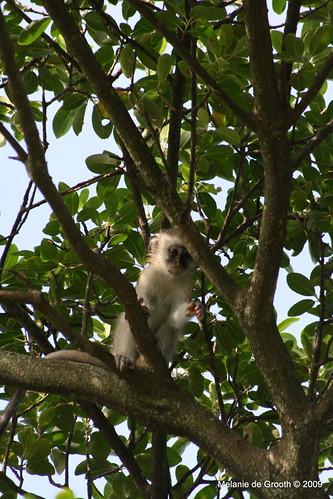 Baby Vervet Monkey 2