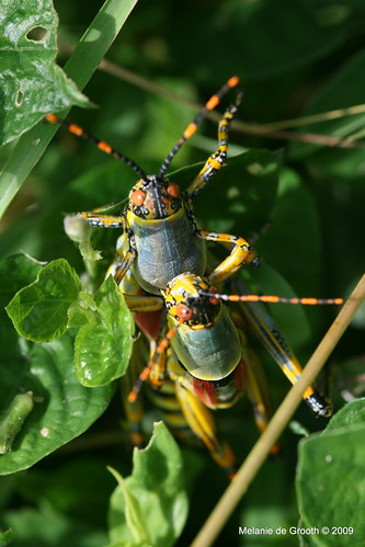 South African Grasshoppers Mating