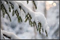 Snöig gran (mmoborg) Tags: winter sun snow tree sol vinter sweden gran sverige snö träd 2012 mmoborg mariamoborg