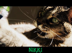 Nikki Playing (jodispayne.....Mostly off :() Tags: cat feline nikki tabby tribute rainbowbridge nikkiplayingonbedwithstinky2010