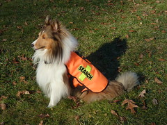 ditto shetlandsheepdog sheltie sar dc:rightsholder=pauljmorris dc:creator=pauljmorris dog