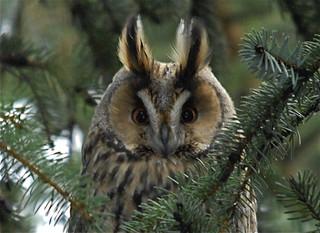 Eyrugla - Long-Eared Owl - Asio otus