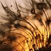 the flame deluge (Mia Minor) Tags: light sun macro nature nikon silhouettes dandelion seeds waterdrops alwaysexc