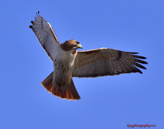 Redtail makes an appearance at Eaglefest (pcgphotography) Tags: red ny birds nikon hawk tail flight valley croton hudson prey tamron rapture