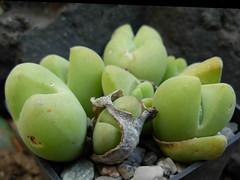 Vanheerdea roodiae