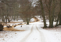 Deer Dyrehaven Winter (Riemanello) Tags: trip snow denmark vinter mtb singular