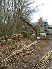 """Coppiced Hazel poles • <a style=""""font-size:0.8em;"""" href=""""http://www.flickr.com/photos/61957374@N08/6830636375/"""" target=""""_blank"""">View on Flickr</a>"""