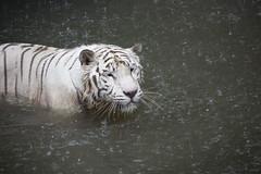 IMG_2591 (Marc Aurel) Tags: zoo singapore tiger tigre singapur whitetiger zoologischergarten singaporezoo weddingtrip hochzeitsreise bengaltiger pantheratigris zoologicalgarden königstiger pantheratigristigris royalbengaltiger pantheratigrisbengalensis weisertiger 5dmarkii eos5dmarkii indischertiger tigrebiancha