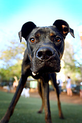 You lookin' at me? (kingpinphoto) Tags: dog puppy boxer dogpark 2011 didriksen thelittledoglaughed 17thands wwwkingpinphotocomjoel