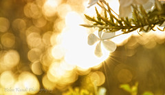 In the morning (Belen Kundt) Tags: morning light plants white flower green leaves sunrise gold bokeh foliage flickraward mygearandme mygearandmepremium mygearandmebronze mygearandmesilver 52weeks2012