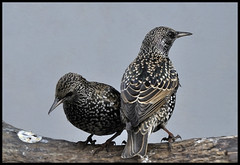 Couple (Jan Visser Renkum) Tags: starling europeanstarling sturnusvulgaris spreeuw bej