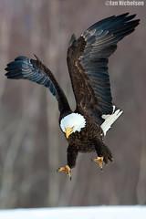 On the Hunt (Osprey-Ian) Tags: eagle bald mygearandme mygearandmepremium mygearandmesilver mygearandmegold mygearandmeplatinum mygearandmediamond flickrsfinestimages1 flickrsfinestimages2