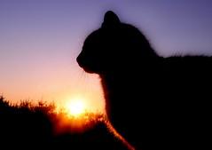 Cat Silohuette (Ben_Senior) Tags: trees sunset orange sun sunlight ontario canada black animals silhouette night cat nice nikon colours ottawa explorer great kitty nikond90 bensenior