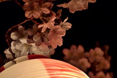 Cherry Blossom by night (Izumo) (Giopuppy) Tags: pink cute primavera japan night lanterne cherry japanese spring blossom rosa april  nightview lantern fiori aprile giappone lanterna 2014   giapponesi japa   ciliegi     d3100 d3100