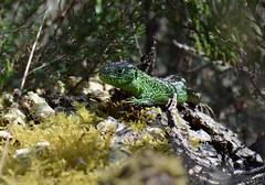 male sand lizard, Surrey (willjatkins) Tags: sand wildlife surrey lizard britishwildlife britishlizards britishamphibiansandreptiles