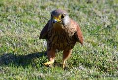 DSC_0237 (rachidH) Tags: nature birds hawk redsea egypt falcon birdsofprey kestrel oiseaux falcotinnunculus commonkestrel faucon fauconcrcerelle ainsokhna rachidh