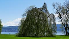 zugerland_063_28042016_11'46 (eduard43) Tags: trees lake tree see bume baum cham zugersee 2016 villettapark