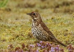 Song Thrush (GrahamParryWildlife) Tags: new uk blue sky sunlight plant male bird up field animal sport landscape photo kent moss flickr dof purple outdoor song sigma add dew 7d mk2 dungeness marsh prey viewing depth thrush plumage rspb kentwildlife 150600 grahamparrywildlife