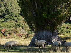 What do ewes want? (mikecogh) Tags: wool alarmed sheep treetrunk shade grazing alert shakespearebay