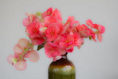 Begonia Bouquet (spurekar) Tags: flowers plants gardening spring summer