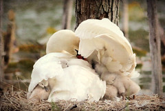 Mama's Love by Ami Shecter (Paulinskill River Photography) Tags: cute love nature nest wildlife nj swans cuteness cuddles cygnets nesting muteswan babyswans blairstown paulinskillriver paulinskillriverphotography amishecter