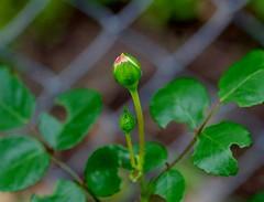 New Dawn climbing rose (Niki Gunn) Tags: flowers flower macro rose pentax may rosebud climbing tamron 90mm k5 tamron90mm 2016 climbingrose newdawn tamron90mmf28 tamron90mmmacro tamronspaf90mmf28