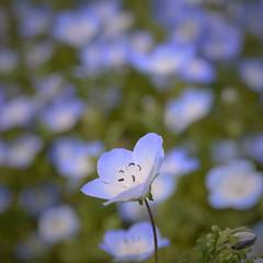 -- (m-miki) Tags: flower japan spring nikon    nemophila  d610