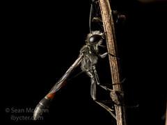 Ammophila (Sean McCann (ibycter.com)) Tags: hymenoptera ammophila sphecidae