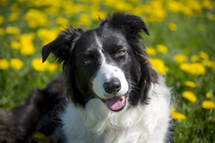 Pops in the dandelions (Keartona) Tags: poppy bordercollie dog smiling face looking england sunny day dandelions closeup summer