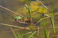 2016-05-06 - 15.54.11 - _L5B2700 - 1 (Rossell' Art) Tags: pad frog toad sapo rana frosch grenouille kikker rano bufo r krte crapaud  rospo doodebemde batracien