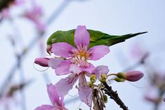 PS_periquito_de_encontro_amarelo2 (rodrigommaciel) Tags: flores natureza flor pssaro aves ave periquito alimentao