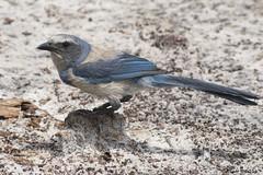 resHI 0902 fl Scrub Jay on trail (annSatt) Tags: jay scrubjay floridascrubjay
