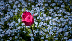 I stand alone, so forget me not (paulstewart991) Tags: flowers nature garden outdoors tulips canadian shallowdof meaford canon70d
