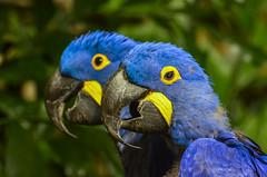 Hyacinth Macaw (ajblake05) Tags: canada birds animals vancouver britishcolumbia northamerica stanleypark vancouveraquarium captive hyacinthmacaw vertebrates lowermainland anodorhynchushyacinthinus greatervancouver psittacidae vertebrata gallery160526