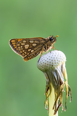 Gelbwrfelige Dickkopffalter (Carterocephalus palaemon)_Q22A2900-BF (Bluesfreak) Tags: insekten schmetterlinge chequeredskipper tagfalter gelbwrfeligedickkopffaltercarterocephaluspalaemon