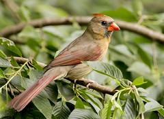 Northern Cardinal - Female (Edward Arthur) Tags: nature cardinal sigma
