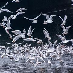Wings Chaos (migajiro) Tags: migajiro sony nex7 sel18200 seagull gaviota volando ltytr1 ltytr2