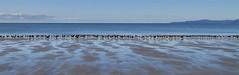 Oyster catchers near Collingwood (Roger Fraser) Tags: bird beach golden bay collingwood nz oystercatcher