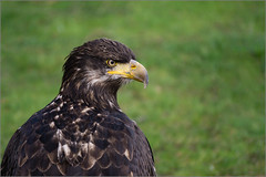 Eagle Eyed (mikeyp2000) Tags: bird eagle bokeh sony beak feathers grumpy a6000 sel55210 ilce6000