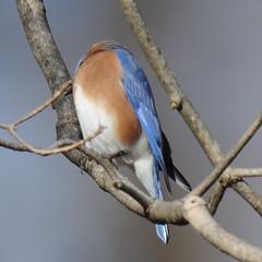 Headless bluebird (Vox Sciurorum) Tags: bird connecticut birdfeeder bluebird redding sigma800mmf56ex