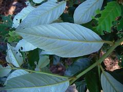 Alphitonia excelsa 2 (barryaceae) Tags: browns creek bicentennial gardens taree australianrainforestplants australian rainforest plants species new south wales australia ausrfps alphitonia excelsa red ash rhamnaceae