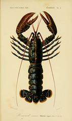 Anglų lietuvių žodynas. Žodis european lobster reiškia europos omaras lietuviškai.