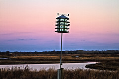 Purple Martins (Kansas Poetry (Patrick)) Tags: lawrencekansas purplemartins bakerwetlands wakarusawetlands patrickemerson patricklovesbeautifulnancy