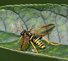 Figwort Sawfly (Tenthredo scrophulariae). (od0man) Tags: uk macro insect geotagged wiltshire hymenoptera sawfly symphyta tenthredinidae tenthredo tenthredoscrophulariae macrolife figwortsawfly ef100mmf28lisusmmacro geo:lat=51130658450279654 geo:lon=19444143029022598