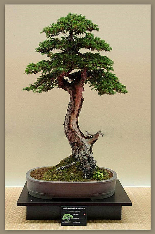 the world 39 s best photos of bonsai and cedar flickr hive mind. Black Bedroom Furniture Sets. Home Design Ideas