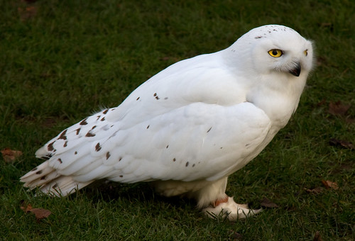 Snowy Owl 3c by ahisgett, on Flickr