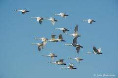 Whooper swans (John Beukeboom) Tags: uk england bird nature birds swan nikon wildlife flock vogels natuur swans 500mm avian vogel engeland zwaan whooperswan cygnuscygnus zwanen donnanook wildezwaan avianexcellence d3s johnbeukeboom