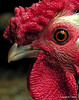 Gator Watch (NTFlicker) Tags: red sharp okefenokee rooster comb nikoncoolpix8800 orangeeye