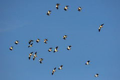 Flock of Lapwing - Bann Meadows (Alistair Prentice.) Tags: autumn winter wild bird canal pentax flock group wing meadows bann sigma 150 lapwing 500 prentice towpath chasing kx portadown twitcher rspb newry peewit birdphotography lapwings nibirding