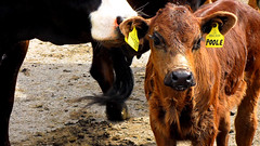 Brown Calf (_chrisUK) Tags: brown animal animals cow mud farm tag ears moo calf poole babycow cowandcalf cuteanimal farmyard littlecow cutecow cutecalf chrisuk farmerpoole